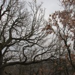 duby pod vrcholem