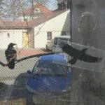 Corvus corax na Vyšehradě...