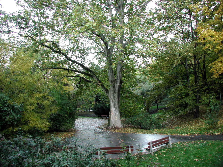 platan-javorolisty-v-parku-jezerka